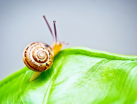 slimy: Little snail on wet green leaf, cute slow escargot crawling on grass, slimy brown mollusk on palm leaves, close up shellfish in fresh forest, ecology, environment and wildlife concept Stock Photo