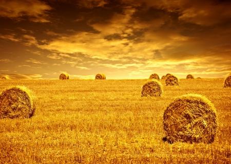 aratás: Szüret ideje búza, gyönyörű naplemente, festői táj, arany rozs területen szénakazalban, évad termény, mezőgazdasági élelmiszer-termelés, művelt ökológiai vetőmagok kenyér, a természet szépségét ősz