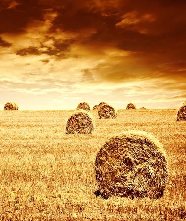 fardos: Tiempo de cosecha de trigo, la hermosa puesta de sol, paisaje esc�nico, campo de centeno de oro con pajar, la temporada de cultivo, granja de producci�n de alimentos, semillas org�nicas cultivadas de pan, la belleza de la naturaleza en oto�o