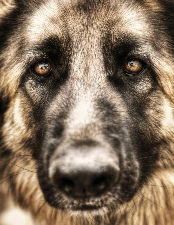 big eye: Closeup portrait of german shepherd, cute adult domestic animal, best friend for human, beautiful pedigreed dog face