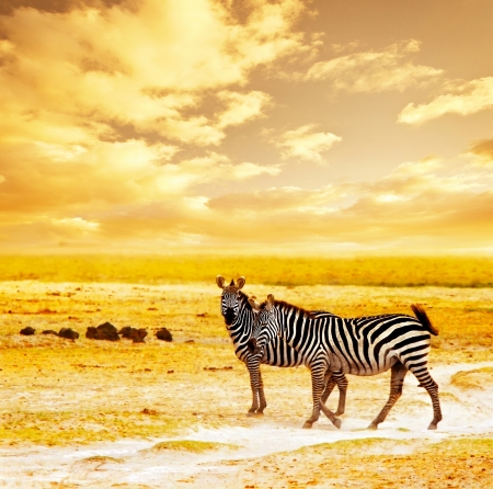 africa sunset: African safari, zebras family