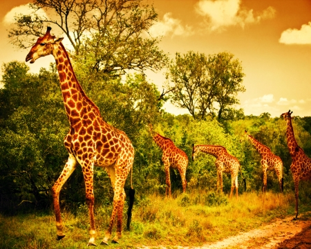Image of a South African giraffes, big family graze in the wild forest, wildlife animals safari, Kruger National Park, bushes of Sabi Sand game drive reserve, beautiful nature of Africa continent Stock Photo
