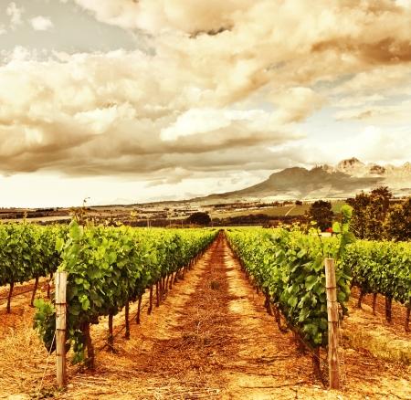 Photo of grape valley, harvest season, beautiful sunset over vineyard, plantation of fruits, winery farm, retro autumn background, grapes garden landscape, healthy organic food  photo