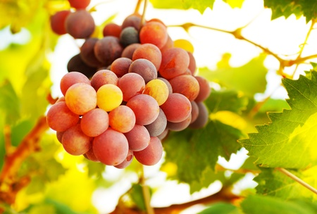 winemaking: Picture of ripe grape bunch with green leaves, winemaking industry, fresh tasty fruits, purple juicy berry hanging on vine branch, autumn harvest season, healthy eating concept, sunny day