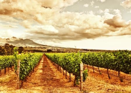 Vineyard: Imagen del valle de uva, cosecha, hermosa puesta de sol sobre viñedos, plantaciones de frutas, finca bodega, fondo retro otoño, paisaje uvas jardín, campo agrícola