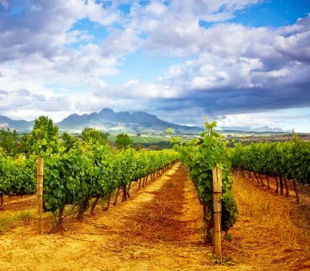 vi�edo: Imagen de bodega jard�n, cielo azul, hermoso paisaje agr�cola, la temporada de cosecha, las uvas valle, campo de fruta fresca madura, la industria vi�a, paisaje rural naturaleza, viticultura plantaci�n Foto de archivo