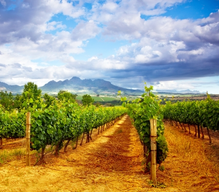 Picture of winery garden, blue sky, beautiful agricultural landscape, harvest season, grapes valley, field of fresh ripe fruit, vineyard industry, rural scenic nature, plantation viticulture Stok Fotoğraf - 15140235