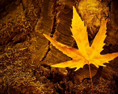 Picture of dry maple leaf on old dark tree trunk, autumn leaves background, yellow autumnal leaves on stump in woods, fall season, autumn nature, old dry plant in forest, nature cycle concept photo