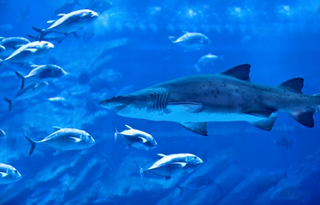 oceanic: Image of big natural aquarium, aggressive shark, great group of exotic fish, majestic marine world, oceanic life, underwater fauna, diving in Dubai, nature of undersea predator, ocean wildlife Stock Photo