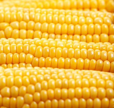 corn rows: Photo of yellow corn background, abstract backgrounds, harvest season, healthy organic nutrition, maize cob, golden textured wallpaper, fresh prepared grain, tasty vegetable, vegetarian meal