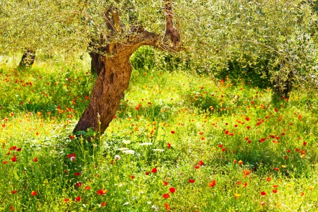 Image of red poppy flowers meadow photo