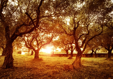 olive farm: Picture of beautiful orange sunset in olive trees garden