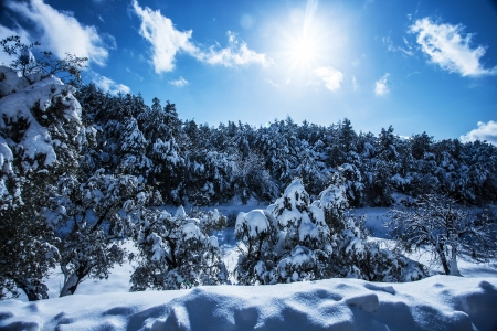 coniferous forest: Photo of beautiful snowy forest in the mountain, bright sun shine in blue sky, woods covered white snow, hoarfrost on evergreen tree, branch of spruce cover with rime, cold frosty wintertime weather