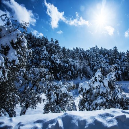 Photo of beautiful snowy forest in the mountains, bright sun shine in blue sky, woods covered white snow, hoarfrost on evergreen tree, branch of spruce cover with rime, cold frosty wintertime weather   photo