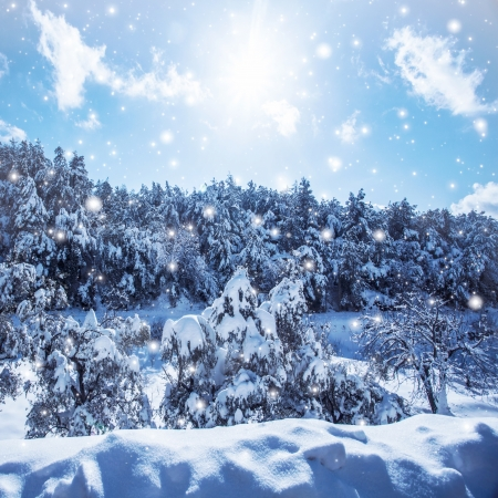 hoar: Image of snowfall in woods, fir tree forest covered with white snow, snowy coniferous tree in the mountains, cold frosty wintertime weather, Christmastime holidays, winter season, beautiful blizzard