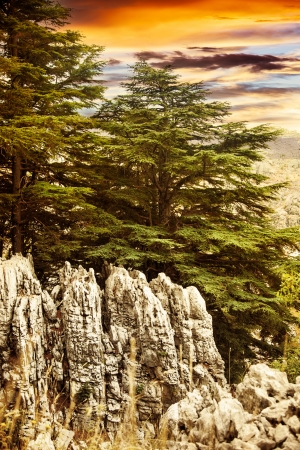 Image of cedars forest of Lebanon, coniferous woods on the rocks, dramatic red sunset, big green pine trees in the mountains, beautiful landscape, wild nature, huge fir tree over sunrise   photo