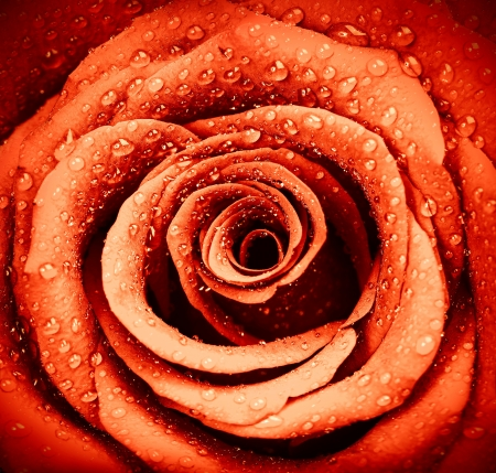 Image of beautiful red rose background, fresh flower with dew drops on the petals, abstract floral backdrop, retro style photo, wedding day greeting card, Valentine day present, love concept photo