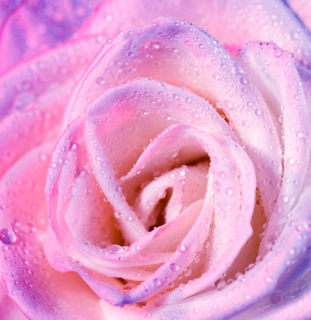 purple love: Picture of beautiful pink rose background, abstract floral backdrop, anniversary greeting card, dew drops on petals, Valentine day gift, gift for mothers day, romantic holiday, love concept Stock Photo