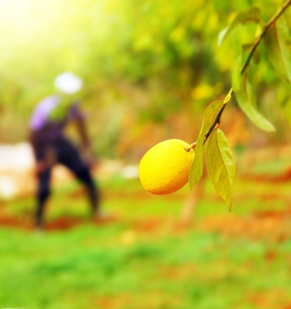 Picture of farmer working in lemons garden, closeup branch with ripe yellow juicy lemon fruitage, fruit cultivation, citrus production, person work on backyard in harvest time, vitamin C, organic food photo