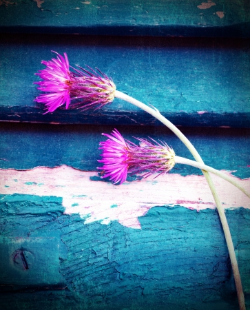 smeary: Photo of beautiful pink cornflowers on blue wooden background, stem of purple centaurea smeary in white paint, two violet knapweed flowers on blue grungy door, spring season, bloom time concept