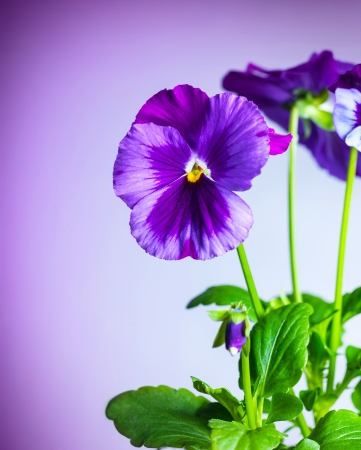 Photo of beautiful purple pansy flowers isolated on violet background, fresh magenta pansies on green stalk with leaves, floral bouquet, spring season, cute gift for holiday, blooming wildflower photo