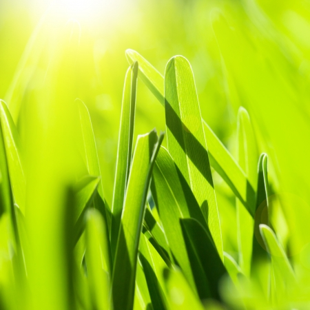 Picture of fresh green grass background, spring nature, lawn on the park in sunny day, bright yellow sun light, abstract natural backdrop, textured wallpaper, soft focus, environment protect concept photo