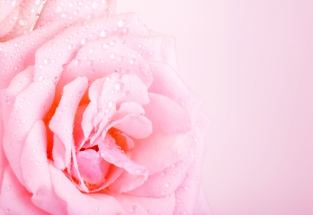 Photo of beautiful pink rose background, abstract floral border, wedding greeting card, celebrate holiday, spring nature, dew drops on petals of flower, romantic gift, mothers day, romance concept  photo