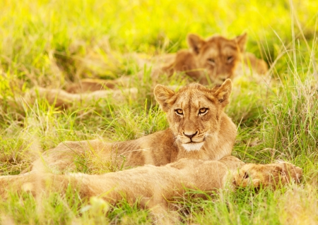 kruger national park: Photo of an African lion cubs , South Africa safari, Kruger National Park reserve, wildlife safari, cute small lioness child, exotic wild nature, mammal wild animal family lying down on green grass