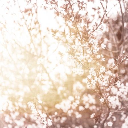 flor cerezo: Foto de la hermosa flor de cerezo, natural de fondo abstracto, arte, temporada primavera, manzana florece en un d�a soleado, papel tapiz floral, foco suave, peque�as flores blancas en la rama de �rbol