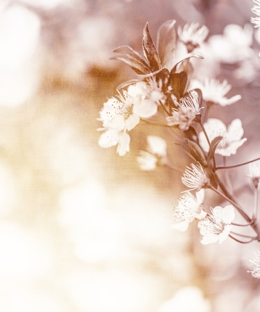 Photo of gentle white cherry flowers on the tree in sunny day, floral branch, apple blooming in the garden, springtime nature, natural wallpaper, selective focus, freshness and growth concept photo