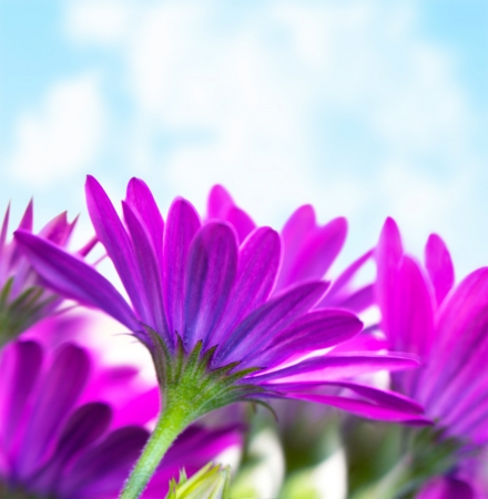 florescence: Photo of fresh purple flowers over blue sky background, florescence border, violet daisy flower, floral glade, springtime outdoors, head of pink wildflower on green stem, spring nature