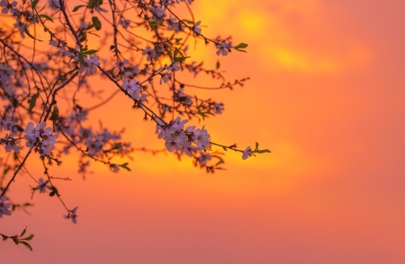 Photo of cherry blossom over orange sunset, blooming fruit tree, natural border, spring season, fresh apple flowers on the twig over pink sunrise in the morning, springtime nature, freshness concept photo