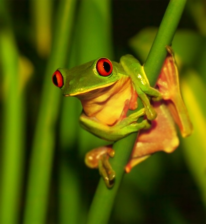 rica: Photo of little cute green frog with red eyes sitting on exotic plant, wild nature of Costa Rica, Central America, sticky red-eyed toad in the park, rain forest, summer season, travel to tropics
