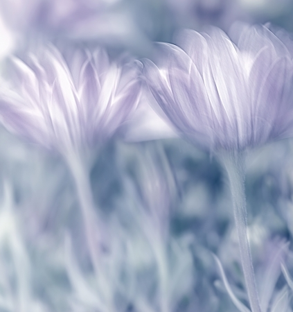shallow focus: Pastel photo with soft focus of beautiful tender daisy flowers, spring time nature