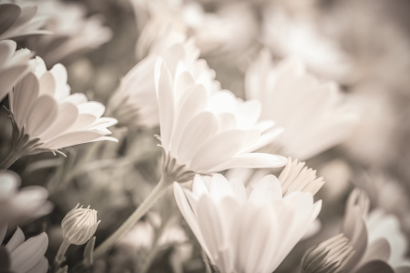 tonality: Black&white photo of beautiful fresh gentle daisy flowers, soft focus, spring time season