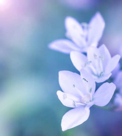 macro photo: Gentle white flowers on blue blur background, fresh spring wildflowers outdoors, natural floral border, soft focus Stock Photo