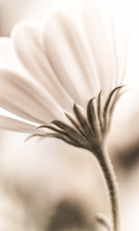 Beautiful fresh white daisy flower, vintage style photo, soft focus, spring time season, tender floral background photo
