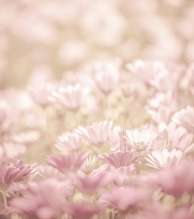 depth of field: Pink abstract floral background, daisy flowers, soft focus, spring nature, blooming meadow, shallow depth of field