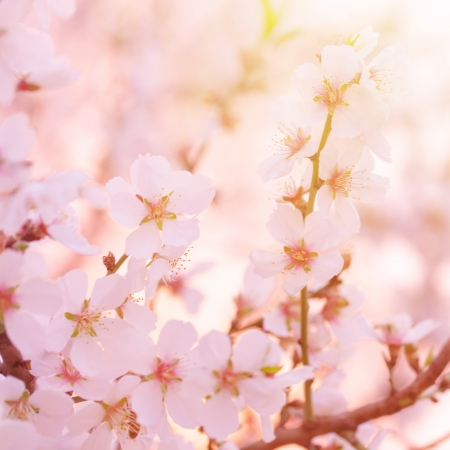 Beautiful tenter apple tree blooming, fine art, soft focus, little white flowers on tree branch, spring season photo