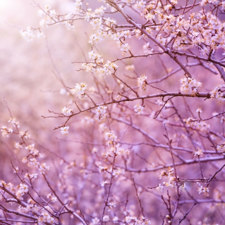 blooming: Beautiful tender cherry tree blossom in morning purple sun light, floral background, spring blooming flowers