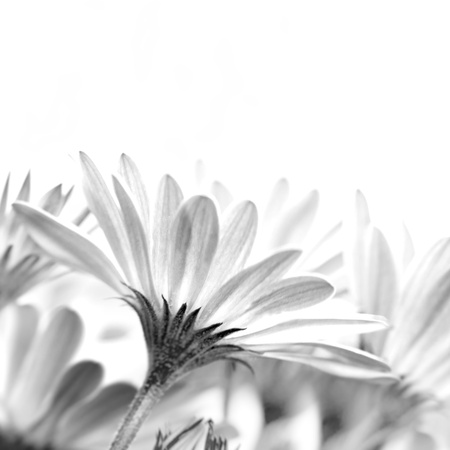 Gentle daisy flowers isolated on white background, studio shot, floral border border, copy space, spring time photo
