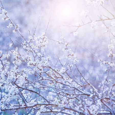 Beautiful blue floral background, gentle white flowers on tree branch, bright sun light, cherry blossom, spring time nature photo