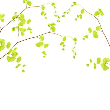 folhagem: Fronteira galho de árvore fresco, galho com belas folhas verdes isoladas no fundo branco, temporada primavera
