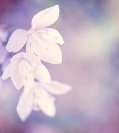 shallow focus: Beautiful gentle white flowers on purple background, soft focus, fine art, floral border, spring season