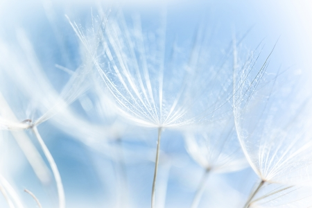 blue dandelion: Macro of abstract dandelion background, nature detail, spring season, blooming flowers, soft focus