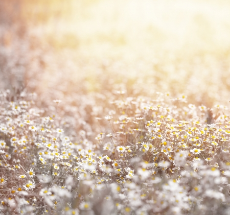 Closeup of beautiful fresh daisy meadow in warm yellow sun light, abstract floral background, soft focus, many white little wildflowers, summer season