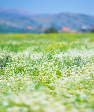 Beautiful daisy flowers field on mountains landscape background, camomile meadow in evening, selective focus, summer nature photo