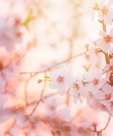 Spring blooming tree,  dreamy sunny background, beautiful fine art photo style, little white flowers on tree branch over sunset, garden on spring season, soft focus photo