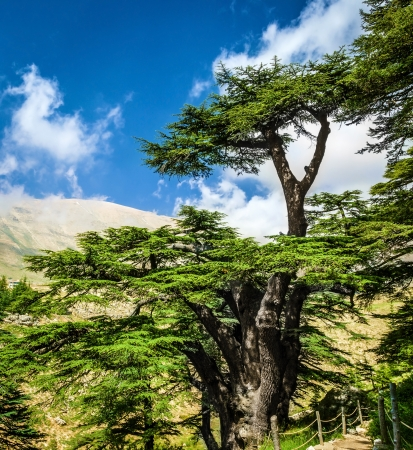 Cedar woods in the mountains on blue sky background, Lebanese nature, beautiful landscape, evergreen tree forest, summer tourism concept photo
