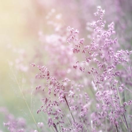 wild flowers: Achtergrond van prachtige lavendel kleur bloem veld, vers verzacht paarse wilde bloemen in zonnige dag, soft focus, zomertijd seizoen